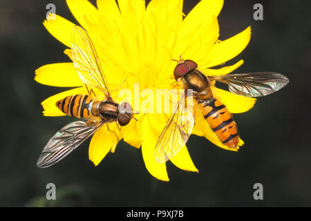 Male and Female Episyrphus balteatus hoverflies feeding on flower. Tipperary, Ireland - Stock Photo