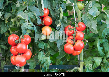 Solanum lycopersicum. Tomato 'Oh happy day' plant with ripe and unripe tomatoes. UK - Stock Photo
