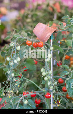 Solanum lycopersicum. Tomato 'Oh happy day' plant with ripe and unripe tomatoes. UK - Stock Photo
