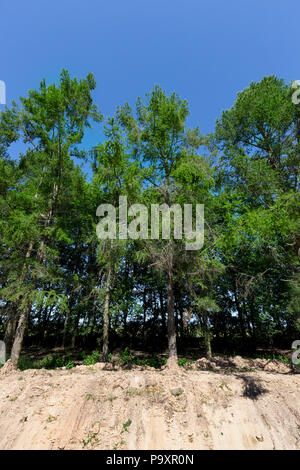 high spruce growing on a sandy hill near the edge of the highway, summer landscape - Stock Photo