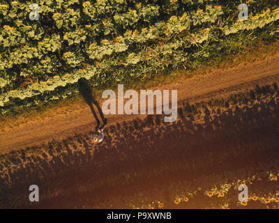 Farmer agronomist using drone to examine blooming of sunflower crops in field from above, using modern technology in agriculture and food production i - Stock Photo