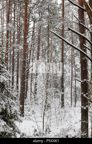 forest, in the winter season after a big snowfall, completely covered with snow the old high pine trees, the tops of which are not visible - Stock Photo