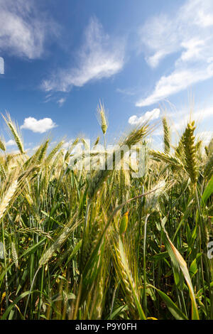 beautiful curved ears of green rye on the field, spring nature against a blue sky background - Stock Photo