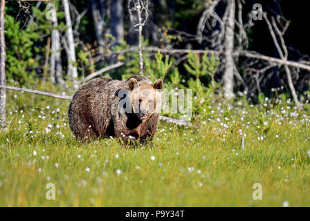 Brown bear is entering to the open swamp from the forest. Though, it's still not sure if it's safe thing to do. - Stock Photo