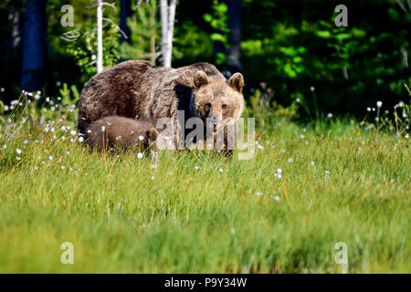Brown bear mom with a cub is entering to the open swamp from the forest. Though, it's still not sure if it's safe thing to do. - Stock Photo