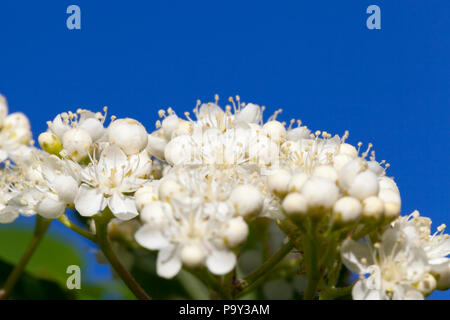 a large number of white small flowers on the branches of a tree in the spring flowering, closeup with blue sky and sunlight - Stock Photo