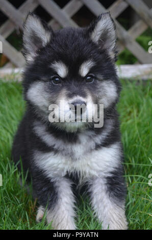 Sitting alusky puppy dog that is about two months old. - Stock Photo