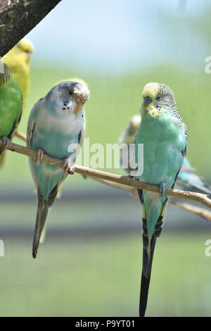 Pastel common parakeets sitting together on a branch. - Stock Photo