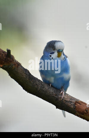 Very pretty pastel blue budgie on a tree branch. - Stock Photo