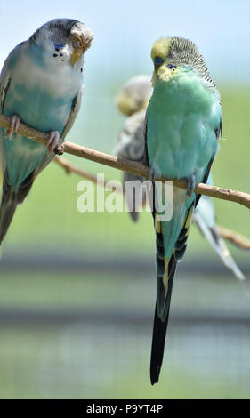 Pair of pastel common parakeets sitting together on a branch. - Stock Photo