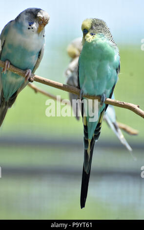 Sweet pair of budgies sitting on a tree branch with pastel colors. - Stock Photo