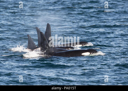 Pod of Killer Whale or Orca (Orcinus orca), Eastern Russia - Stock Photo