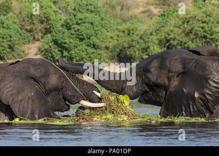 Elephant (Loxodonta africana) feeding in Chobe river, Chobe national park, Botswana - Stock Photo