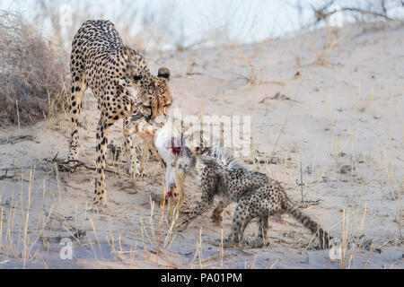 Cheetah (Acinonyx jubatus) and cub feeding on scrub hare (Lepus saxatilis), Kgalagadi transfrontier park, South Africa - Stock Photo