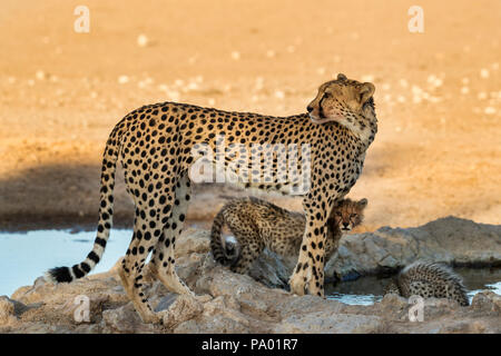 Cheetah (Acinonyx jubatus) with cubs, Kgalagadi transfrontier park, South Africa - Stock Photo