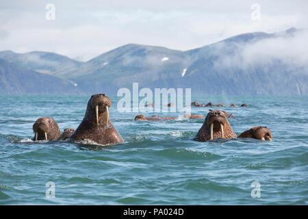 Pacific Walrus (Odobenus rosmarus divergens), Kamchatka, Russia - Stock Photo
