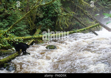 Black bear fishing for salmon beside a raging river, with moss-laden fallen trees in the rain forest near Ucluelet, British Columbia, Canada - Stock Photo