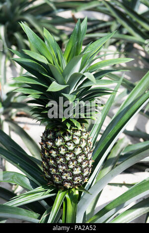 Large ripening, fruiting pineapple plant with large,  healthy green crown. - Stock Photo