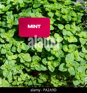 Full frame of Mint plants, healthy green, growing in the experimental Epcot exhibit and farming area, The Land. A red sign designating the plants MINT. - Stock Photo