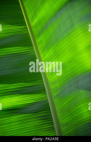 Closeup view of a banana leaf showing beautiful light contrasts and line symmetry. Appropriate as a background of green hues in light and dark shades. - Stock Photo