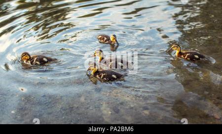 Mallard (wild duck) ducklings swimming in water. - Stock Photo
