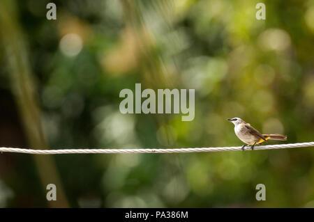 Yellow-vented Bulbul - Pycnonotus goiavier - Thailand Bulbul goiavier - Thaïlande - Stock Photo