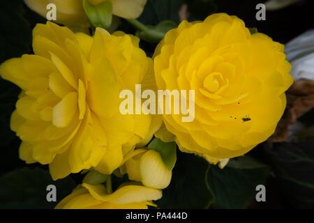 Yellow rose flower wallpaper background beautiful nature image no yellow rose flower wallpaper background beautiful nature image no people stock photo mightylinksfo