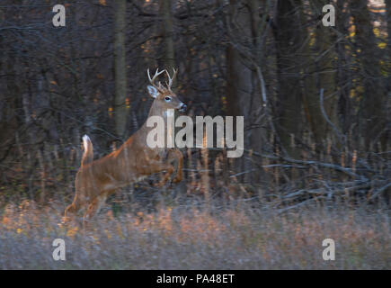 White-tailed deer buck running through the woods during the rut in the early morning autumn light in Canada - Stock Photo
