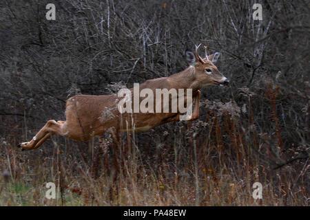 Whitetail Buck Deer running in winter snow Stock Photo ...