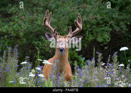 White-tailed deer buck with velvet antlers walking through a meadow in the spring in Canada - Stock Photo