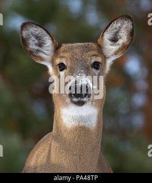 White-tailed deer in winter in Canada - Stock Photo
