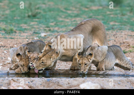Lioness and cubs (Panthera leo) drinking, Kgalagadi Transfrontier Park, South Africa, - Stock Photo