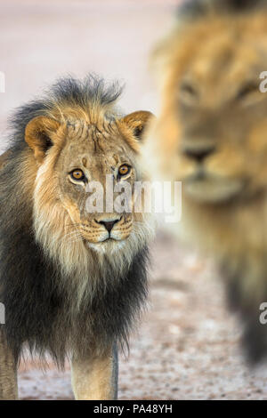 Lion (Panthera leo) brothers, Kgalagadi Transfrontier Park, South Africa, - Stock Photo