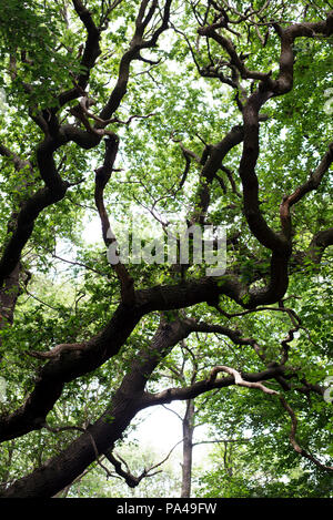 Looking up into the dense tree canopy of the woodlands in Thorndon Park, Brentwood, Essex, England, UK - Stock Photo