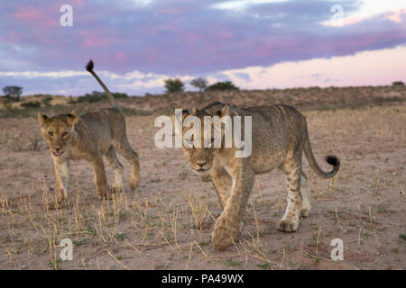 Young lions (Panthera leo), Kgalagadi Transfrontier Park, South Africa, - Stock Photo