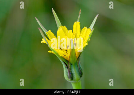 Goat's-beard (tragopogon pratensis), close up of a solitary flower head. Also known as Jack-go-to-bed-at-noon. - Stock Photo