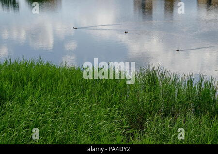 Summer with green fresh reed, Phragmites communis or rush and drake, female mallard ducks swimming in the lake, district Drujba, Sofia, Bulgaria - Stock Photo