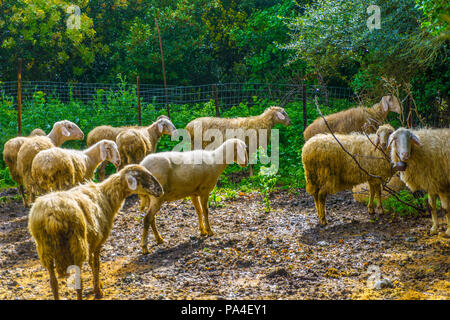 Sheep grazing in the countryside near Lousios gorge in Peloponnese, Greece - Stock Photo