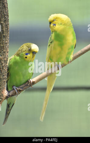 Beautiful pair of bright colored budgies sitting together on a tree branch. - Stock Photo