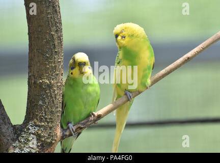 Branch with a pair of budgies sitting together. - Stock Photo