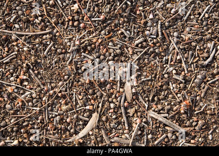 A view of the ground from above under a eucalyptus tree, with gum nuts and leaves. - Stock Photo