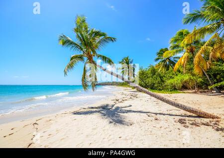 Caribbean Martinique beach coconut - Stock Photo