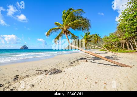 Caribbean Martinique Le Diamant beach coconut - Stock Photo