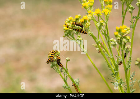 Cinnabar moth caterpillars, Tyria jacobaeae, feeding on ragwort plants and flowers. Dorset England UK GB - Stock Photo