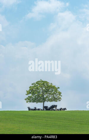 Cows getting some shade under a tree on a hot day. - Stock Photo