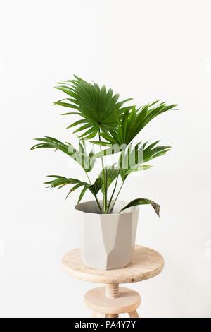 Pot plant (Green Livistona Rotundiflora palm) in a geometric-shaped pot - Stock Photo