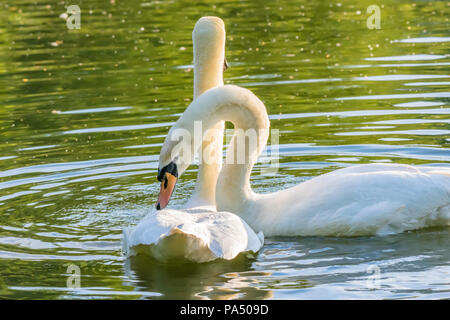 Pair of white, mute swans in love, before mating floating on lake surface during sunset.Male swan delicately touching its partner wing with his beak. - Stock Photo