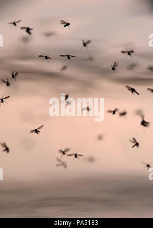 Swarm of mosquitoes laying eggs in stagnant water. - Stock Photo