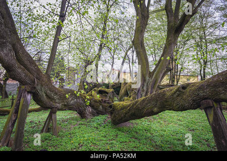 Famous lime tree, estimated at more than 900 years in park of castle in Bzenec town in Czech Republic - Stock Photo