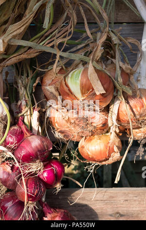 String of red and brown onions catches late afternoon the sun. Onions are hung outside to store them for the winter. - Stock Photo